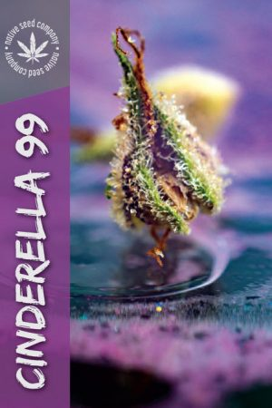 Collector Seed by Native Seed - Cinderella 99