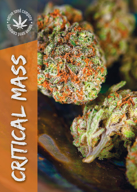 Collector Seed by Native Seed - Critical Mass
