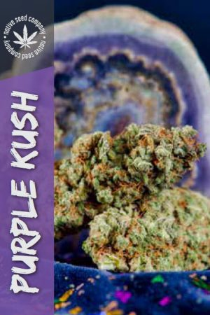 Native Seed Co. Collector Card - Purple Kush